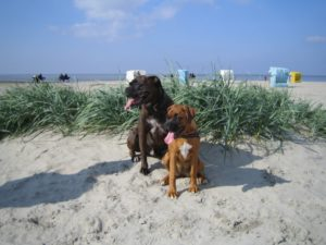 Boxer Hund Strand Urlaub